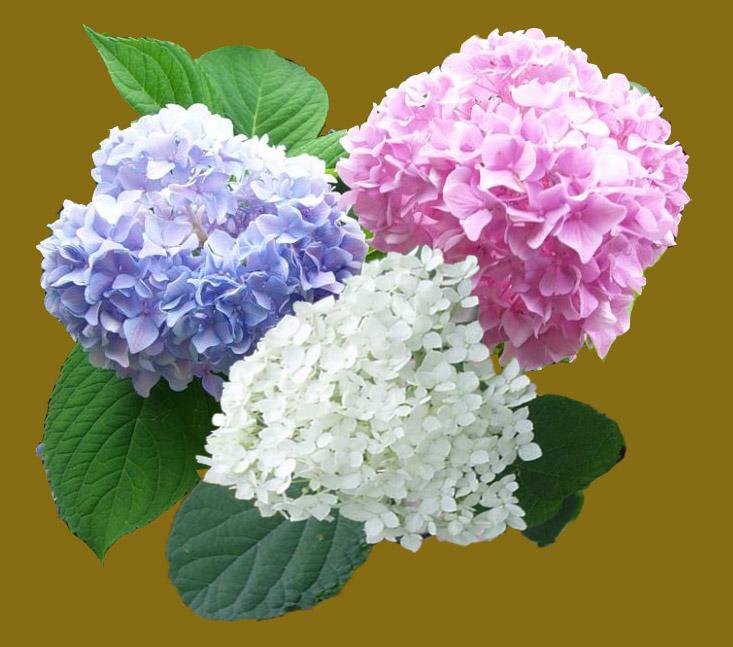 Гортензия значение цветка